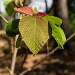 Japanese spurge shrub has interesting leaves
