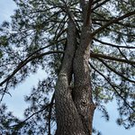 This fascinating pine tree has a plaque commemorating Frederick Thode but no tree ID. Frustratin