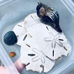 shells and sand dollars from the island