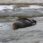 Sleeping seal at the Point Kean Seal Colony