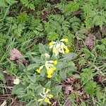 Cowslips at Skidby Mill