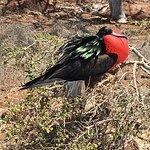 Frigate bird in mating season
