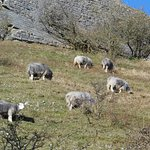 Rare breed of sheep around moat .