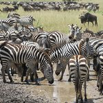 The migration in the Serengeti