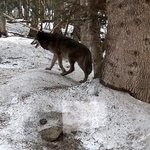 Loups...