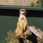 Meerkat keeping lookout!