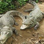 American Alligators! Love them!