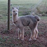 "Alpacas & Alpaca Products: ""Just what you need!"""