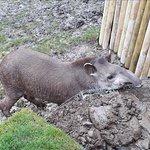 Tapir at the Tilgate Nature Centre