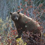 Viewing a black bear on a wildlife tour