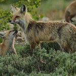 A family of foxes found on a wildlife expedition