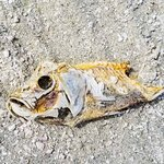 One of the numerous Mozambique Tilapia skeletons on the beach