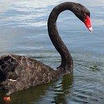 Black Swan Lake照片