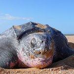 Galibi Zeeschildpad Leatherback