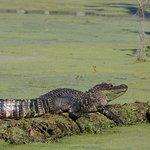 Many gators sunbathing.