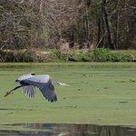 Birdlife - great blue heron.