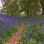 Bluebell Woods Coed Y Bwnydd