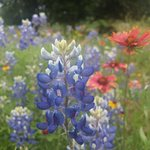 Bluebonnets on Willow City Loop