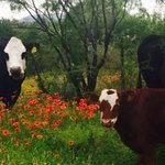 Willow City Loop Cows--they roam free on the loop. If you're lucky, they pose for pics.