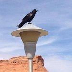 Crazy large and super smart Raven.