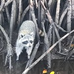 Baby raccoon sighting on mangrove airboat tour