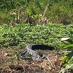 alligators galore