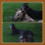 Our Rescued Greyhounds .. Stevie & Star, Solo & Star 🐾❤️🐾