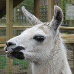 The resident Llama
