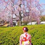 Sakura blossoms in Asakusa