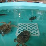 several turtles in a tank
