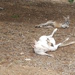 A local resident rescued 2 albino roos who have set up house on his land and have non-albino joe