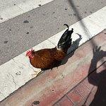 Random chicken crossing the road outside Sharkeez!