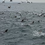 Super group of sea lions in a feeding frenzy.