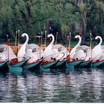 Swan Boats inside the Boston Common