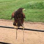 A Harris Hawk posing for all it's worth. Beautiful.