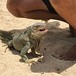 Meeting the iguanas on Pinel Island.