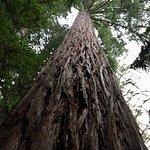 Redwoods, Whakarewarewa Forest Photo