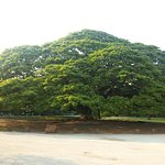 ภาพถ่ายของ ต้นจามจุรียักษ์
