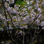 Sakuras along the path