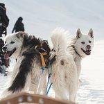 Svalbard Husky Foto