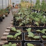 plants in production, mock orangery and seating beyond...