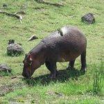 Hippo at Amboseli