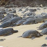 Green turtles resting on Ho'okipa Beach