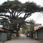 Фотография The Cedars of God