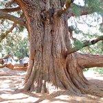 The gigantic Sequoia Trees.