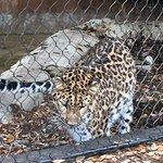 Amur Leopard staring down a possum