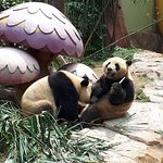Chimelong Safari Park was awesome. I really enjoyed there.i fall in love with PANDAs