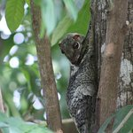 Colugo gliding squirrel spotted within the berjaya resort