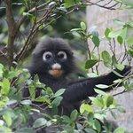 dusky leaf monkey spotted within the berjaya resort