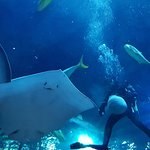 Walk through aquarium with rays, eagle rays, hammerheads, napolean wrasse, other sharks and fish